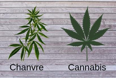 Différence entre chanvre et cannabis