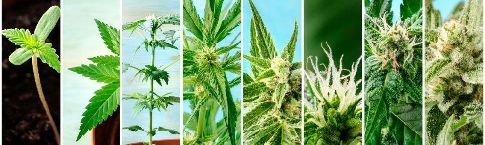Cannabis et CBD, origines